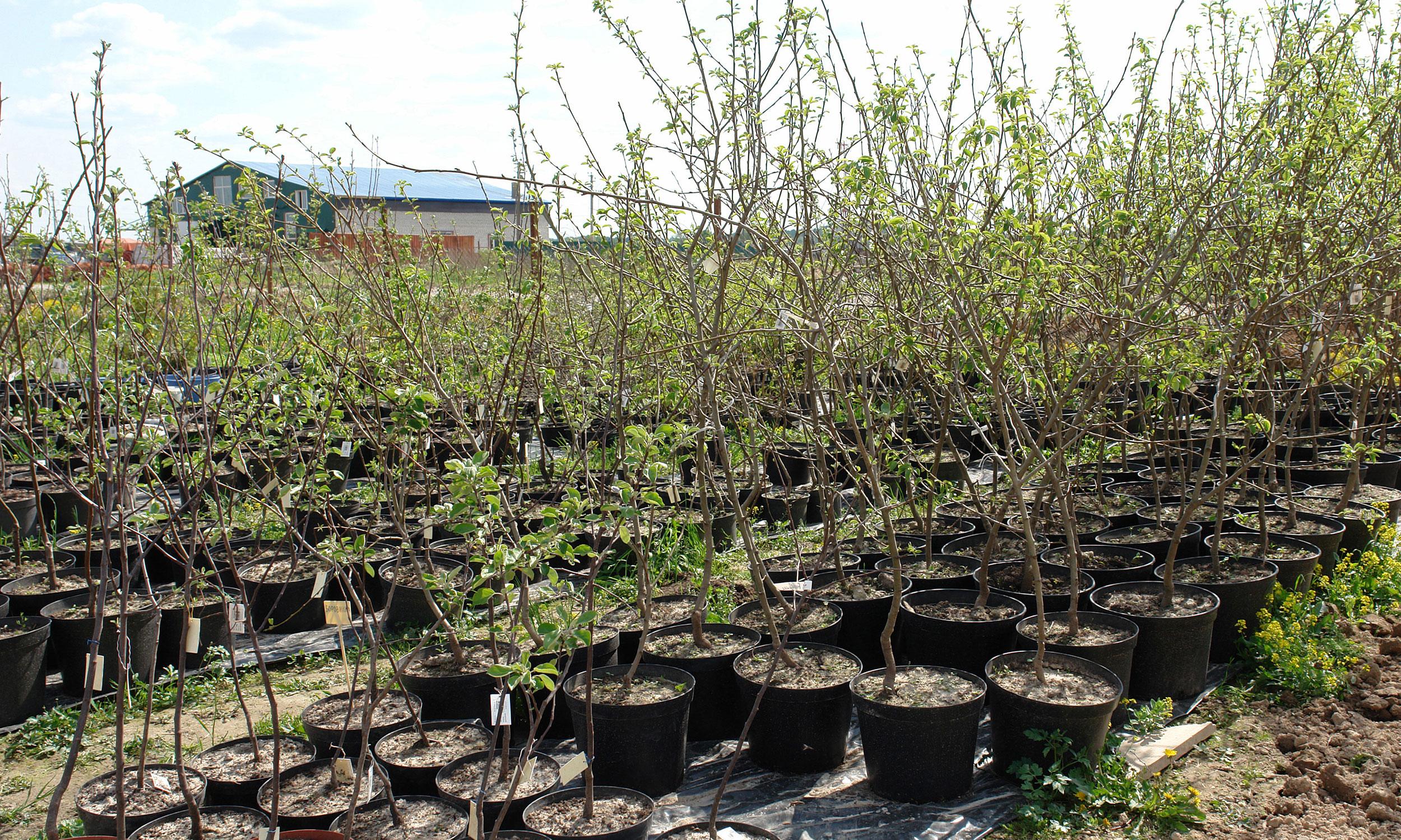 Питомники для выращивания деревьев