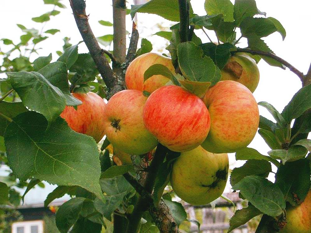коричневое полосатое яблоня описание фото отзывы