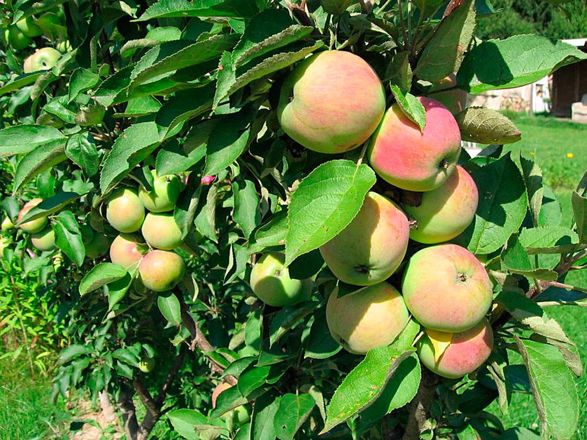 Виды, типы и сорта яблонь с фото и 55