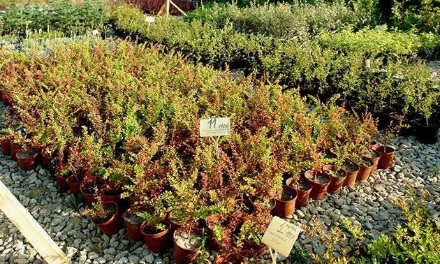Питомник растений «Мишково» — саженцы деревьев и кустарников.