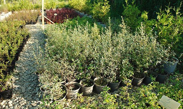 В нашем питомнике саженцев Вам предложат саженцы деревьев, кустраников и рассаду цветов, прошедших проверку в наших климатических условиях.